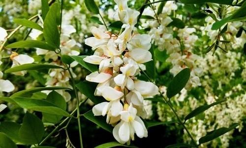 Хорошим отхаркивающим действием обладает настой из цветков акации