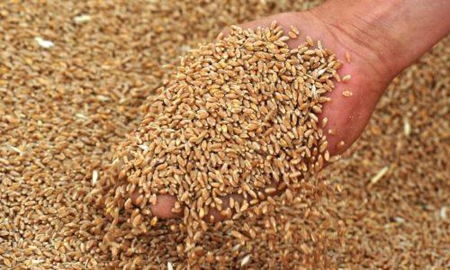 Ванна с добавлением пшеничных зерен способствует увлажнению дыхательного тракта и устранению симптомов бронхоспазма