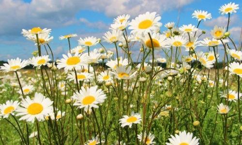 Цветы ромашки лекарственной уже много веков используют в народной медицине для лечения различных заболеваний
